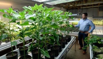 Новое удобрение показало впечатляющий результат, причем не только повысив урожайность, но и снизив количество болезней растений