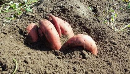 В «Агроаналізі» випробували 11 сортів, серед яких один вітчизняної селекції – Вінницький рожевий