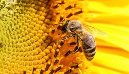 Из-за недостатка опылителей, то есть, пчелосемей, работающих на подсолнечных полях, Украина ежегодно недополучает 1,4 млн т культуры