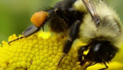 Поляки создают роботопчел для опыления цветов