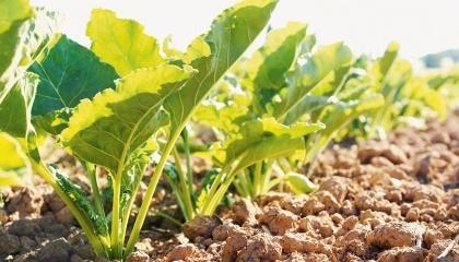 Bayer и KWS выдали долгосрочную лицензию на использование своей новой технологии выращивания сахарной свеклы КОНВИЗО® СМАРТ бельгийской фирме SESVanderHave