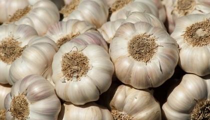 За июль-сентябрь 2017 года было отгружено на внешние рынки 180 т чеснока