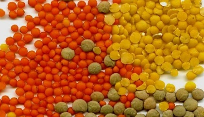 Щороку жителі Індії споживaють приблизно 19 млн т бобових культур, в той чaс, як вирощують приблизно 9 млн т. Тобто, 10 млн т бобових Індія експортує з інших крaїн