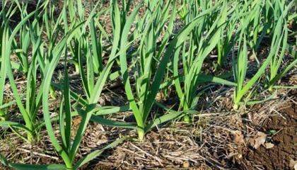 При погодных стрессах нарушаются процессы усвоения элементов питания из почвы, создаются благоприятные условия для развития заболеваний - уже на некоторых образцах обнаруживается стемфилиум, альтернария, фузариум и даже пеницилл, поражение нематодами