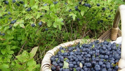 Чернівецька область - малоземельна та густонаселена, тому місцеві агрономи велике значення мають приділити інтенсивним технологіям та високорентабельним культурам