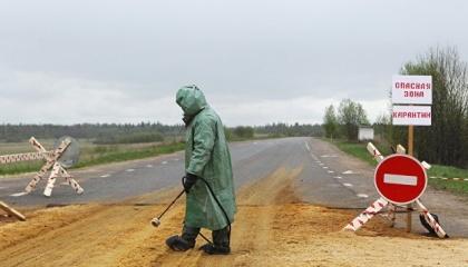 Недбало закопані рештки заражених свиней можуть розкопувати собаки і потім понесуть бацилу на селянські подвір'я