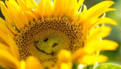 Вдалий результат минулого сезону по соняшнику і його урожайності став сукупністю факторів – як погодних, так і агрономічних. У цьому році навряд чи аграрії отримають такі ж вдалі результати