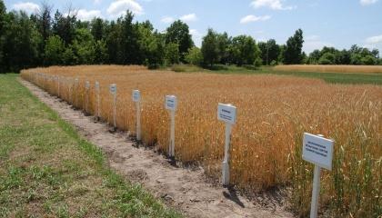 Українські сорти соняшнику займають лише 25%, кукурудзи – 21%, картоплі та овочів – 30%. Вітчизняних гібридів цукрових буряків в реєстрі залишилося лише 16%, у виробництві – 5-8%, тобто лише 15-20 тис. га площ