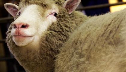 Шляхом клонування можна виростити худобу, яка матиме стiйкiсть до певних хвороб або умов клiмату, даватиме бiльше м'ясо-молочної продукцiї