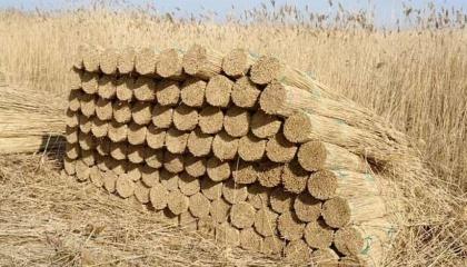 Свитчграс требует немного удобрений, при этом плодонося до 20 лет на одном месте и ежегодно формируя биомассу высотой 1,8 м