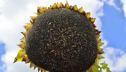 Найбільш проблемною культурою в минулому році був соняшник. У червні велика кількість посівів була пошкоджена несправжньою борошнистою росою або пероноспорозом