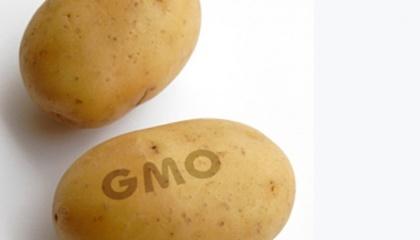 Картоплі потрібно на 50% менше пестицидів. Отримана ГМО-картопля не темніє при розрізанні і у неї менше чорних плям, ніж у звичайної