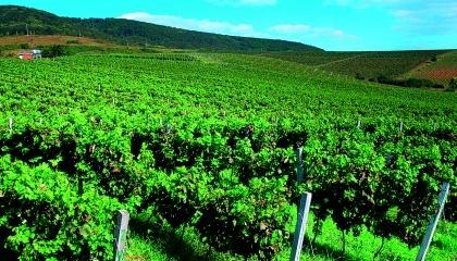 Основними регіонами промислового вирощування винограду в Україні є Одеська, Миколаївська, Херсонська області та Закарпаття (близько 95% виробничих площ), а також Київська, Вінницька, Дніпропетровська і Запорізька області