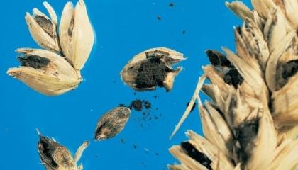 В 2016 г. Украина получила рекордное количество нотификаций по выявлению Tilletia tritici Tilletia carica (твердая головня, голавля вонючая) от Индонезии