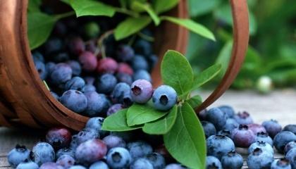 Следующие 3-5 лет прирост коммерческих насаждений будет составлять 15-20% ежегодно, а через 5 лет голубика по площади коммерческих насаждений обгонит садовую землянику