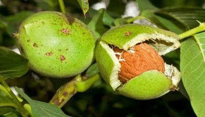 Третий миф - возможность получать в условиях Украины 5 т/га орехов и больше уже на 5-й год вегетации
