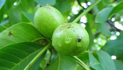 30-річне дерево – це потужний насос із розгалуженою кореневою системою. Потрібно дати йому новий прогресивний черенок і воно отримає нове життя