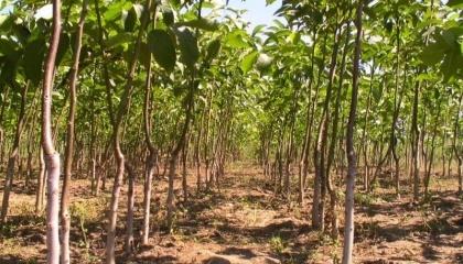 У світі існує чотири технології вирощування горіха: традиційна, напівінтенсивна, інтенсивна та суперінтенсивна