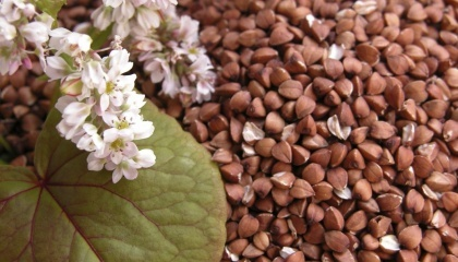 Цього року вагровиробники  Черкаській області збираються збільшити частку площ для вирощування круп'яних культур, зокрема гречки