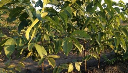 В Закарпатской области на территории новосозданного Тячевского лесхоза высадили экспериментальную плантацию грецкого ореха