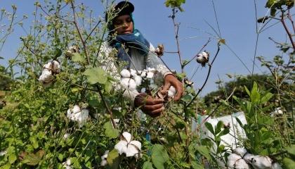 Monsanto продаст свой небольшой фирменный бизнес по производству семян хлопчатника местной фирме Tierra Agrotech Private Ltd