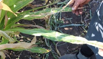 ушкодження кукурудзи від десикації Реглоном з літака