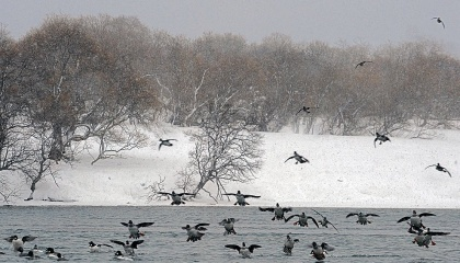 У основних переносників пташиного грипу у дикій фауні (водоплавні качки, гуси та лебеді) весняна міграція починається дуже рано