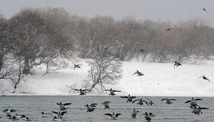 В основных переносчиков птичьего гриппа в дикой фауне (водоплавающие утки, гуси и лебеди) весенняя миграция начинается очень рано