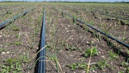 Первые эксперименты в Украине показали, что капельное орошение на полевых культурах может окупиться за 1-2 сезона