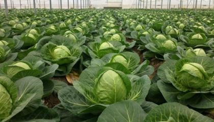 Цьогоріч ціла низка господарств стали відмовлятися від розсадного способу вирощування капусти на користь прямої сівби насіння