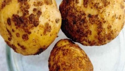 На Ивано-Франковщине специалисты обнаружили зараженный картофель - около полутора гектаров нового урожая