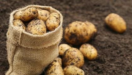 Нідерландська картопляна компанія Solynta розробила різновид картоплі, який стійкий до картопляної фітофтори