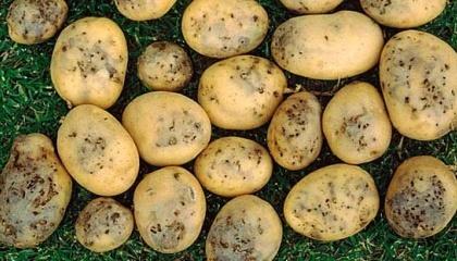 Картофельная моль продолжает вредить посевам на Херсонщине
