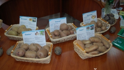 Найбільше голосів набрала картопля «Околиця», а найменше – «Левада»