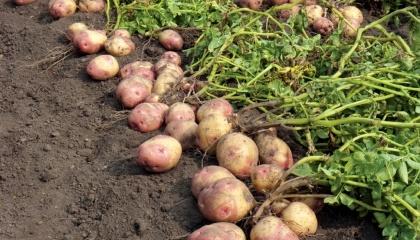 Урожайность картофеля в Украине даже у фермеров в лучшие годы не превышает 25-27 т/га, тогда как порог доходности - 30 т/га