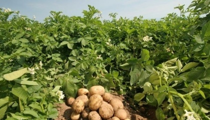 Вітчизняні науковці інституту не лише працюють над виведенням сортів картоплі, котрі зможуть протистояти викликам природи, але й досягли в цьому певних успіхів