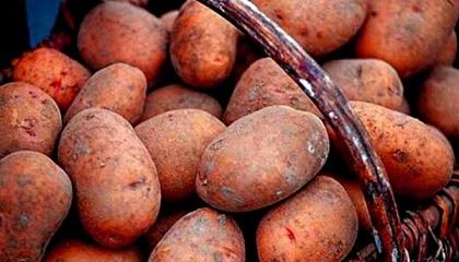 Объем импорта картофеля в Украину в январе-ноябре 2016 г. составил 9,8 тыс. т на сумму $3,9 млн, что в 5,6 раза больше, чем за весь прошлый год