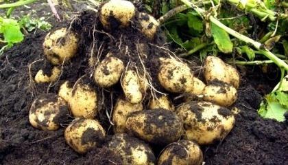 Щоб урожайність не падала, промислові картоплярі, за підрахунками Української асоціації виробників картоплі (УАВК), мусять інвестувати у кожен гектар посадок 90-100 тис. грн