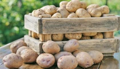 Післязбиральна доробка має ключове значення в підготовці картоплі до закладання на зберігання та підвищення лежкості бульб