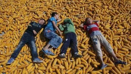 Согласно приведенным данным, стоимость тонны кукурузы обойдется Кении в $260-270, общая сумма сделки составляет около $119 млн