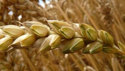 Хотя пшеницу, ячмень, овес и тритикале относят к культурам умеренного климата, они довольно ощутимо различаются по своим требованиям
