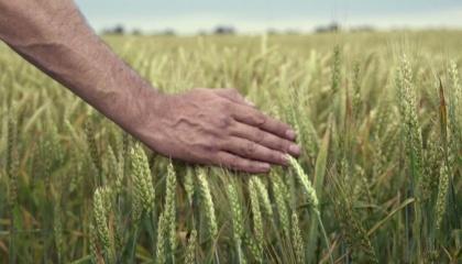 Нынешний год хлебным вряд ли назовешь. Если в прошлом году, по данным Минагропрода житница Европы собрала рекордный в своей истории урожай зерновых - 66 млн т, то сейчас хотя бы 60 т намолотить