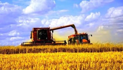 На Хмельнитчине - поразительный результат урожайности пшеницы: 60 ц/га - на поле под Волочиском, в одном колоске - 35-40 зерен