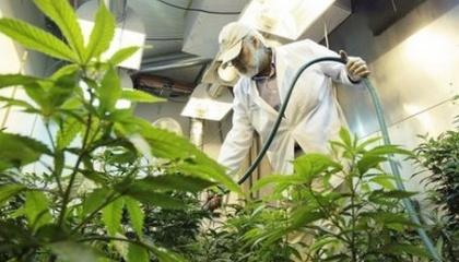 15 років тому майже 50% голландської сировини конопель містило сліди пестицидів. Нині їх число зросло до 92%