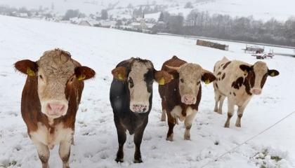 Якщо раніше в раціоні корови концентровані корми становили 5-10% і це була дерть, то тепер, щоб отримати від неї за рік 8 тис. кг молока, вони становлять 50%  і навіть більше, причому використовують збалансування елементів різними добавками