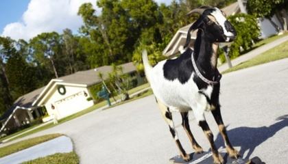 Обладателем одного из самых странных рекордов является коза по имени Хэппи.  В марте 2012 года она проехала на скейтборде 36 м за 25 секунд