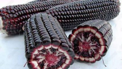 Пигмент беталаин защищает растения от серой плесени, грибка, который ежегодно приводит к уничтожению зерновых на миллиарды долларов