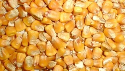 У насіння кукурудзи перед висівом варто додати «доопилювач», тобто гібрид із пізнішими строками дозрівання