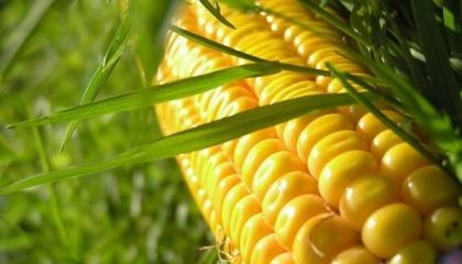 У 2016 році Україна зібрала понад 28 млн т кукурудзи, але частина площі залишилася незібраної. Україна в сезоні 2016/17 МР вже експортувала 8,5 млн т, але ще залишається близько 9 млн т, які потрібно експортувати