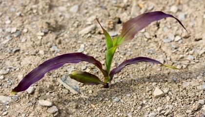 Розміщення фіолетових рослин може підказати чи причина явища генетична, чи має місце пригнічення кореневої системи